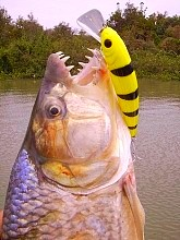 Tigerfish Lure