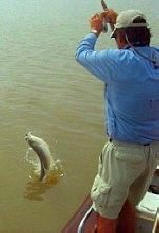 Tigerfish Jumping out of Water